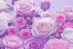 Pink and lilac roses