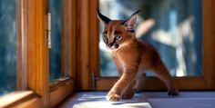 The little caracal by Sergey Polyushko on 500px