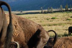 Heidi's buffalo butts photo