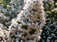 Erica gibbosa Amazing Flowers, Bloom, Trees, Nursery, Plants, Tree Structure, Baby Room, Child Room, Plant