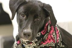 NAME: Harvey ANIMAL ID: 28236094 BREED: Lab SEX: Male EST. AGE: 8mos Est Weight: 40 lbs Health: heartworm neg Temperament: dog friendly, people friendly ADDITIONAL INFO: RESCUE PULL FEE: $49 Intake date: 6/26 Available: now