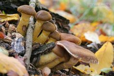 Armillaria mellea - václavka obecná