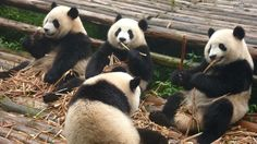 Horton Williams - cute pandas images for backgrounds desktop free - 1920 x 1080 px