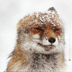 A partir de mañana lluvias y nieve. Abrigaros amigos! #instagram @hermosa_naturaleza_ig http://instagram.com/p/x15rU0GoKX/ #animals #nature #wildlife #naturaleza #animales #winter #invierno #snow #cold #frio #frozen #ice #fox