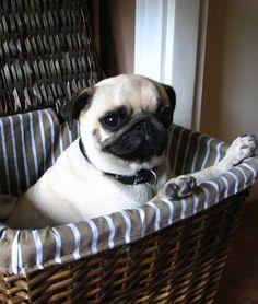 Pug picnic