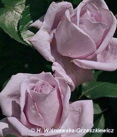 Róża wielkokwiatowa 'Mainzer Fastnacht' ('Blue Monday','Blue Moon', 'Sissi') Rosa 'Mainzer Fastnacht', (Blue Monday', 'Blue Moon', 'Sissi')...