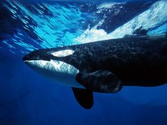 Orca Underwater (bee happy123)