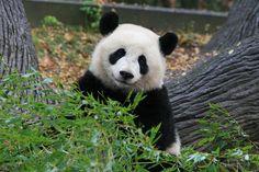 Po at Zoo Atlanta, Georgia, on December I love her a lot! I will miss het! Panda Bears, Bear Cubs, Panda Panda, Panda Love, Cute Panda, Atlanta Zoo, Atlanta Georgia, Pet Dogs, Dog Cat