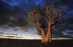 Quiver tree in Namibia, near Fish River Canyon. By Catherine Pring of Surbiton, Surrey.