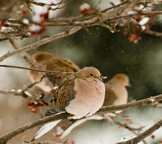 Three Mourning Doves