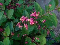 Lonicera tatarica - un très joli gros arbuste, qui fleurit en avril