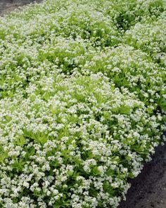 Galium odoratumMaure White Gardens, Garden Plants, Herbs, Composters, Herb, Patio Plants