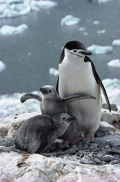 Chinstrap Penguin (Pygoscelis antarctica) parent with chicks on nest, Paradise Bay, Antarctica