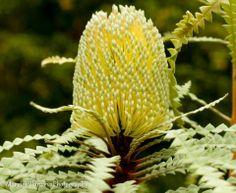 Banksia  https://www.facebook.com/plantasonya