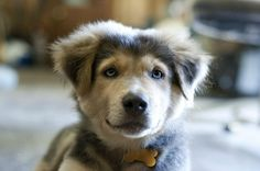 half husky half golden retriever