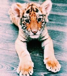 baby tigers are insanely cute! Cute Creatures, Beautiful Creatures, Animals Beautiful, Beautiful Images, Animals And Pets, Funny Animals, Wild Animals, Animals Images, Cute Little Animals