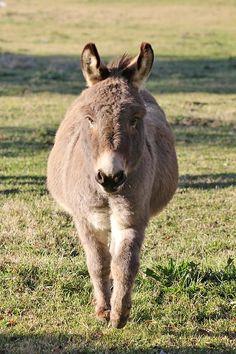 Little burro in his winter coat