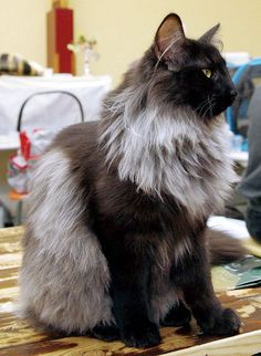 Norsk Skogkatt - Norwegian forest cat PRETTY...  My Maine Coon has colors very similar to this :)