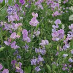 Sweet Pea Leamington Kings Seed Range - Irish Plants Direct