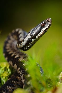 Vipera berus, the common European adder or common European viper. rieccola in visita, ma che Capo vuoi? Non era in amore, in questo periodo? E credevo, sinceramente, di non esser io l'amore suo....