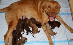 Ellis Farms Chesapeake Bay Retriever - Zoe - First litter and has 10 puppies, Labrador Mix, Chesapeake Bay, Farms, Craft Ideas, Puppies, Dogs, Crafts, Animals, Homesteads