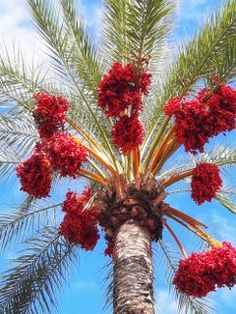 20 Best Backyard Palm Trees - Ideas For Decorating Around Your Home Trees And Shrubs, Flowering Trees, Trees To Plant, Fruit Trees, Palm Trees, Exotic Flowers, Beautiful Flowers, Weird Trees, Unique Trees