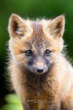 Fox Cub by John E. Marriott