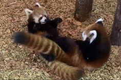 Do you occasionally get into scuffles with your brothers or sisters? Red pandas definitely understand sibling rivalry!