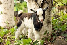 Nigerian Dwarf Goat - so cute! Farm Animals, Animals And Pets, Cute Animals, Cute Goats, Funny Goats, Miniature Goats, Nigerian Dwarf Goats, Goat Farming, Baby Goats