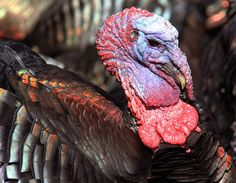 The North American Wild Turkey lives in North America. It is the heaviest and the biggest Galliformes.