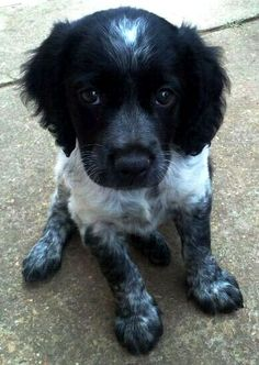 black spaniel breton Brittany Puppies, Brittany Spaniel Dogs, Spaniel Breton, I Love Dogs, Cute Dogs, Animals And Pets, Baby Animals, Hunting Dogs, Grouse Hunting