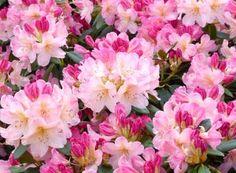 De ce rămân vișinii și cireșii fără frunze în mijlocul verii | Paradis Verde Paradis, Salvia, Rose, Gardening, Flowers, Green, Plant, Pink, Sage