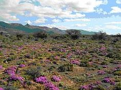 Karroo landscape with flower carpet & West Highland White, Scottish Terrier, Charles Spaniel, King Charles, Border Collie, Yorkie, Biology, Africa, Carpet