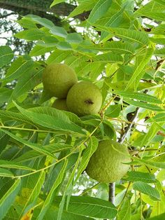 Using Black Walnut for Parasites and Intestinal Worms ~ Here's how to use green black walnut hulls, wormwood and cloves as a treatment for parasites and human intestinal worms with dosage and timing instructions.