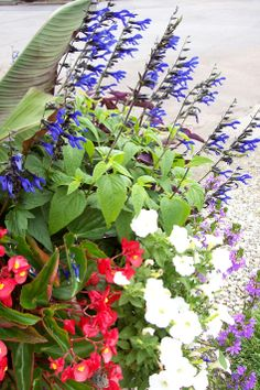 Salvia 'Black and Blue', Begonia 'Dragon Wing Red', Petunia 'White Wave', Secretia 'Purple Palace', Full to part sun.