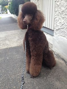 "#poodle #chocolate #standard ""Issy's new 'big girl' clip"""