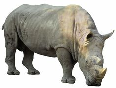 Knowsley Rhino (@knowsleyRhinos) | Twitter