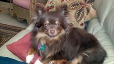 Beautiful chocolate brown pomeranian chihuahua...if my othello & seven had a baby