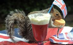 Picture Of The Day: Greedy Squirrel Tucks Into Jubilee Trifle
