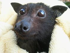 Fruit bat. Who couldn't love a face like that.