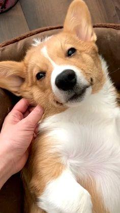 Cute Corgi Puppy, Corgi Dog, Baby Corgi, Pembroke Welsh Corgi Puppies, Corgi Funny, Cute Baby Dogs, Cute Cats And Dogs, Cute Dogs And Puppies, Cute Dog Photos