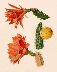 Vintage cactus art print Antique prints by AntiqueBotanicalArt Vintage Botanical Prints, Botanical Wall Art, Botanical Drawings, Botanical Flowers, Science Illustration, Plant Illustration, Botanical Illustration, Sibylla Merian, Illustration Botanique