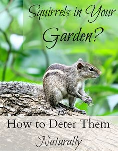 Are squirrels enjoying your garden more than you are? Looking for effective and natural ways to deter them? Check out these tips for keeping squirrels out of your garden! Squirrel Repellant, Squirrel Resistant Bird Feeders, Plant Pests, Garden Pests, Garden Fertilizers, Get Rid Of Squirrels, Japanese Beetles, Garden Animals, Strawberry Plants