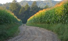 Cornfields surrounding a dirt road in the Appalachian Mountains.