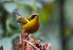 Golden Bush Robin