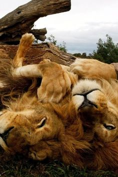 Lions -- EPIC! [Click image to view more]