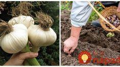 Žiadny škodca, hnojivá ani postreky a úrody je 2x toľko: Vysaďte na jeseň tento cesnak – raz skúsite a iný už nebudete chcieť! Onion, Vegetables, Belle, Onions, Vegetable Recipes, Veggies