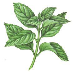 Culinary Herbs & Spices Stock Art - Douglas Schneider