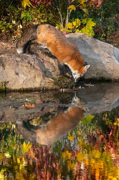 Mirror Mirror on the Pond - Who's the fairest Fox of all? - Red Fox