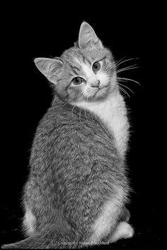 Shelter Kitten, Whatcom Humane Society (by Karen Blatchford)